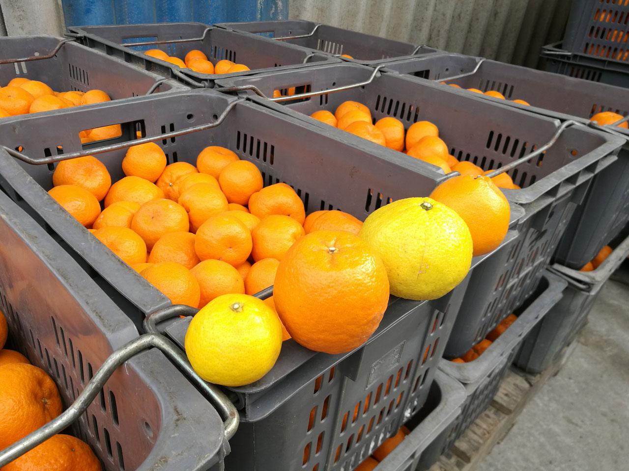 収穫した柑橘の写真