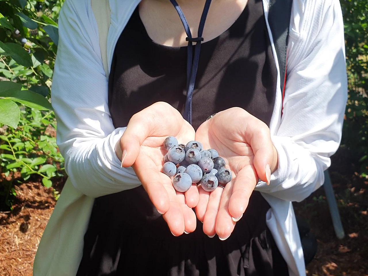 収穫したブルーベリーの写真