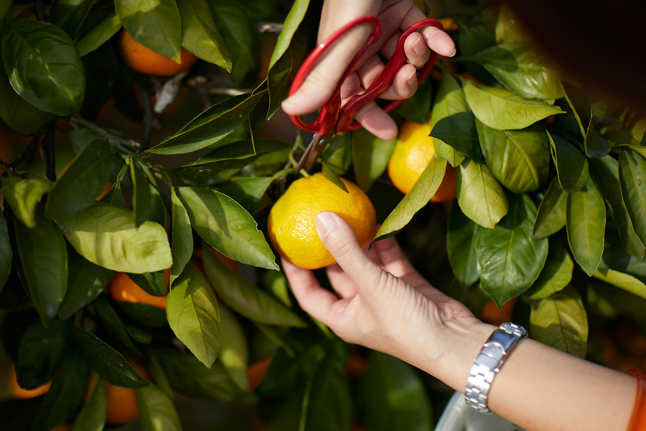 柑橘の収穫写真